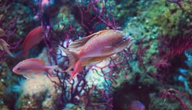 Seaperch de Swallowtail, anthias de Anthias imagem de stock
