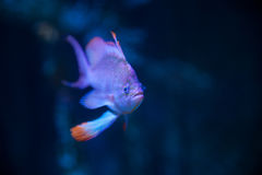 Seaperch Swallowtail в аквариуме Стоковые Фотографии RF
