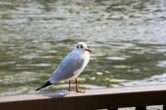 Seaqull που εξετάζει τη κάμερα Στοκ φωτογραφίες με δικαίωμα ελεύθερης χρήσης