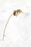 Sear european goldenrod or Solidago virgaurea on snow in winter. Copy space for text royalty free stock photos