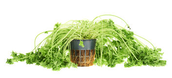 Sear green parsley isolated Royalty Free Stock Photos