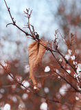 Sear leaf in winter Stock Photo