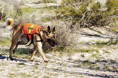 Search Dog. Search and rescue canine unit at work in the desert Royalty Free Stock Photo