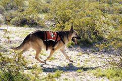 Search Dog. Search and rescue canine unit at work in the desert Stock Photos
