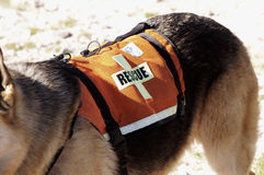 Search Dog. Search and rescue canine unit at work in the desert Stock Images