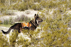 Search Dog Royalty Free Stock Photo