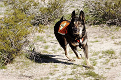 Search Dog. Search and rescue canine unit at work in the desert Royalty Free Stock Images