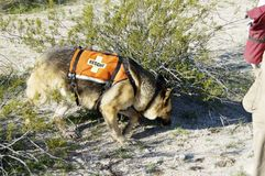 Search Dog. Search and rescue canine unit at work in the desert Royalty Free Stock Photos