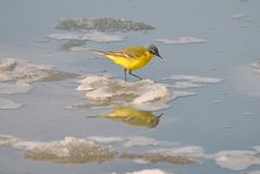 In search of the food. Bird in search of the food jumps on the pieces of ice Stock Photos