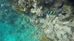 In search of food fish swim near the reef stock footage
