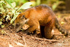 Search For Food. Procyon Cancrivorus Brown Species Of Raccoon Shot In The Wild Ecuadorian Rainforest Stock Image
