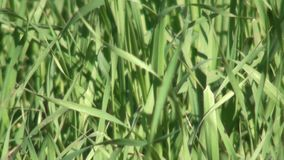 Search in grass effect stock video footage