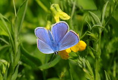 In search of nectar. Early morning wake up and butterflies begin to fly in search of nectar. Flowers butterflies in a meadow offering sweet nectar. Butterflies Stock Image