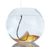 Search sucker. Big black hook hunting goldfish in a small aquarium - The symbol deceit and danger out of hunting Royalty Free Stock Images