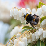 Searcher. A bumblebee searches for pollen inside the dainty blooms of a forest flame bush stock images