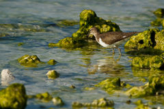 Searching for food. A small wadding bird hunts in the shallows in the Maldives Royalty Free Stock Photos