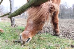 Searching for food - a horse on the graze Royalty Free Stock Photography