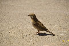 Searching for food. A young sparrow searching for food in the middle of the street stock image