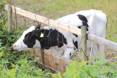 Searching for Greener Pastures. A young cow seems to think the other side of the fence has greener pastures Stock Photo