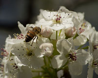 Searching for Nectar. Macro shot of bee on pear tree flowers Stock Images