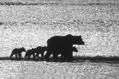 Searching for Salmon. A grizzly bear family of five are trotting along the beach looking for a good fishing spot for a salmon breakfast. Katmai National Park Stock Images