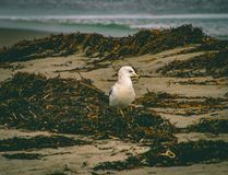 Searching. Seagull searching for lunch royalty free stock photos
