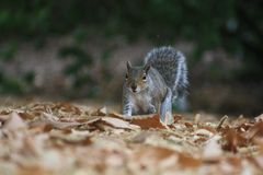 Searching Squirrel over dry leaves Royalty Free Stock Photo