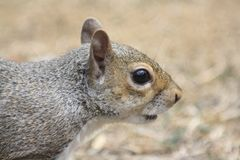 Searching Squirrel's head Royalty Free Stock Photography