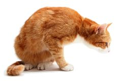 Searching tom cat Royalty Free Stock Photos