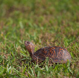 Searching turtle Royalty Free Stock Images