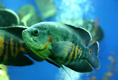 Seargent fish in aquarium Stock Photos