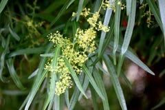 Searsia lancea, Karee tree, African sumac, Willow rhus Royalty Free Stock Photos
