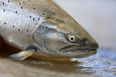 Searun Browntrout Closeup royalty free stock photo