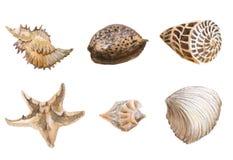 Seas shells watercolor. Watercolor Seas shells isolated eps vector illustration