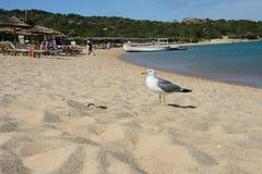 Seascape av en sandstrand av Liscia Ruja med en seagull Arkivbild