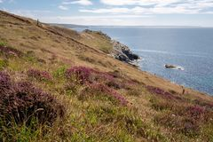 Heather grows in Cornwall Stock Photography