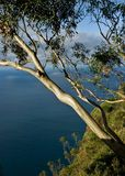 Seascape with eucalyptus tree Stock Image