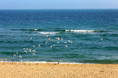 Seascape flock of seagulls on the beach Royalty Free Stock Photo