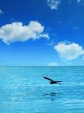 Seascape- och flygpelikan Arkivbild