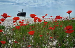Seascape with red poppies on the Black Sea. Landmark attraction in Costinesti, Romania: Evangelia shipwreck. Red poppies blooming on the Black Sea and the Stock Photos
