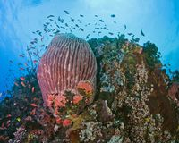 Pristine coral wall reefs of Verde Island, Philippines stock image