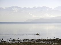 Seascape Schweiz Bern Zug Swan Fog arkivbilder