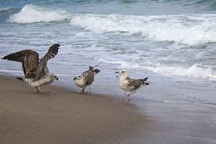 Three seagulls quarrel over food on the seashore stock photo