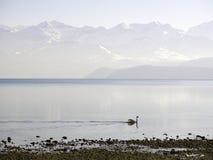 Seascape Switzerland Bern Zug Swan Fog. Water Reflectionen Mountains Sky Stock Images