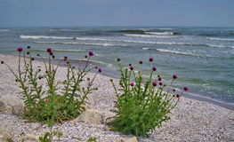 Seascape on the Black Sea. Thistles blossom - Romania. Thistles blossom. Seascape on the Black Sea - Costinesti, Romania royalty free stock photo