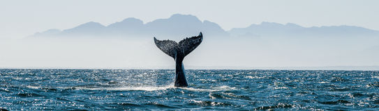 Seascape with Whale tail. The humpback whale Megaptera novaeangliae tail dripping. in False Bay off the Southern Africa Coast Royalty Free Stock Image