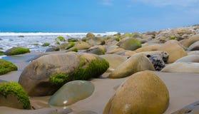 Seascape z mech zakrywać skałami na Kalifornia wybrzeżu Zdjęcie Royalty Free