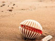 Seashall på våt sand på stranden royaltyfria bilder