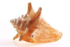 Seashel d'isolement Image stock