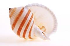 Seashel d'isolement Image libre de droits